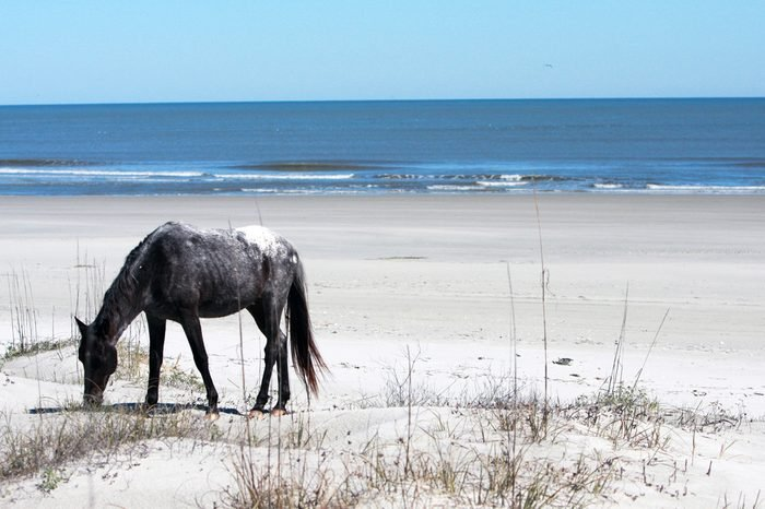 Wild Horse Grazing on the Beach in Cumberland Island, GA.