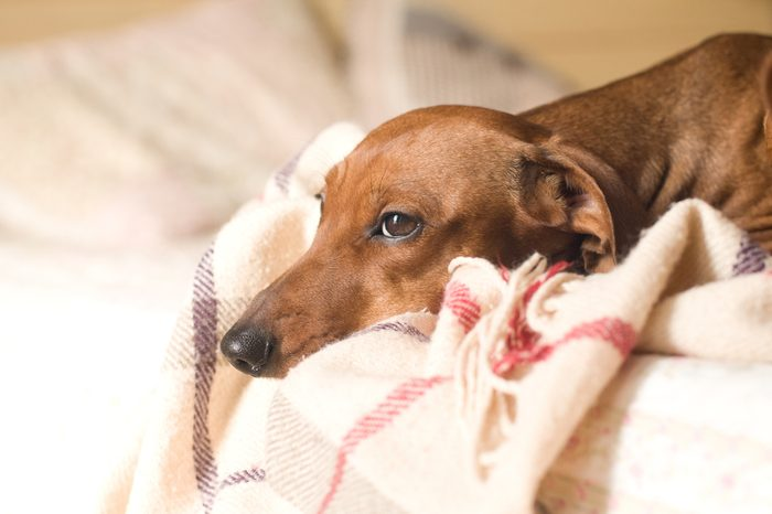 Dachshund portrait lying on white bed with sad face expression