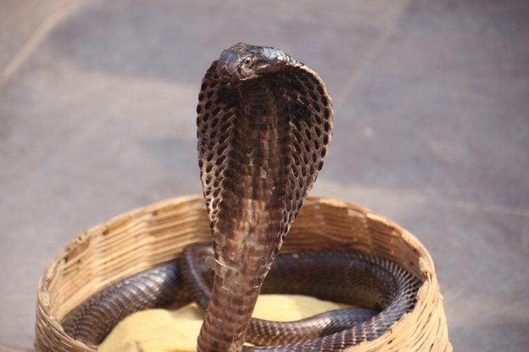 Indian Cobra, snake charmer in the street.