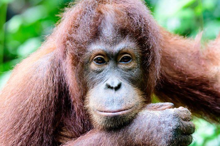 Intelligent eyes of a cute Orangutan