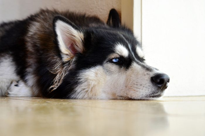 Siberian Husky waiting at home alone, lonely and bored with unhappy expression