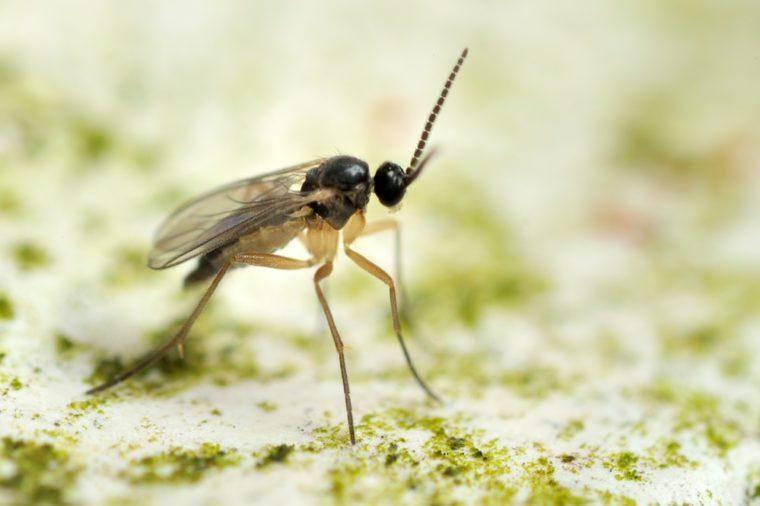 Sciaridae fungus gnat fly