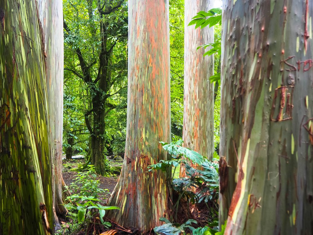 Rainbow eucalyptus trees found on the Road to Hana, Maui