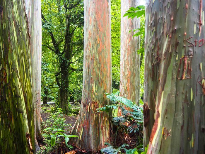 Rainbow eucalyptus trees found on the Road to Hana, Maui