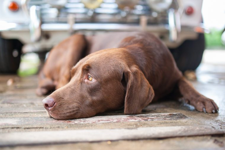 Sad sleepy chocolate labrador retriever
