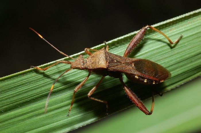 Stinkbug on the leaf