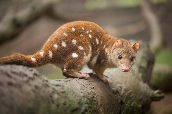 Close up view of a Quoll