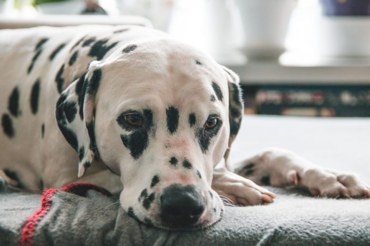 Dalmatian Dog with a bored/relaxed/sad expression sleeping on a sofa in brightly lit modern apartment