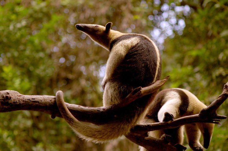 Ant eater (tamandua mexicana) couple in Chiapas Mexico.