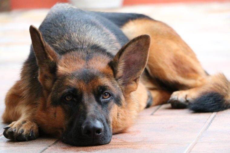German Shepherd dog laying down