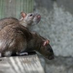 This Is the Most Rat-Infested City in America