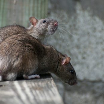 This U.S. City Has More Rats Than Anywhere Else in America