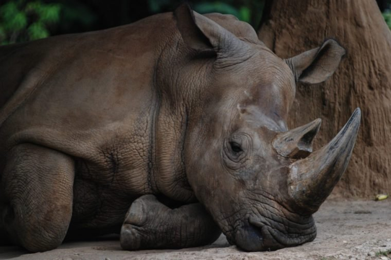 Sumatran Rhino as Rhinoceros sumatrensis from Indonesia