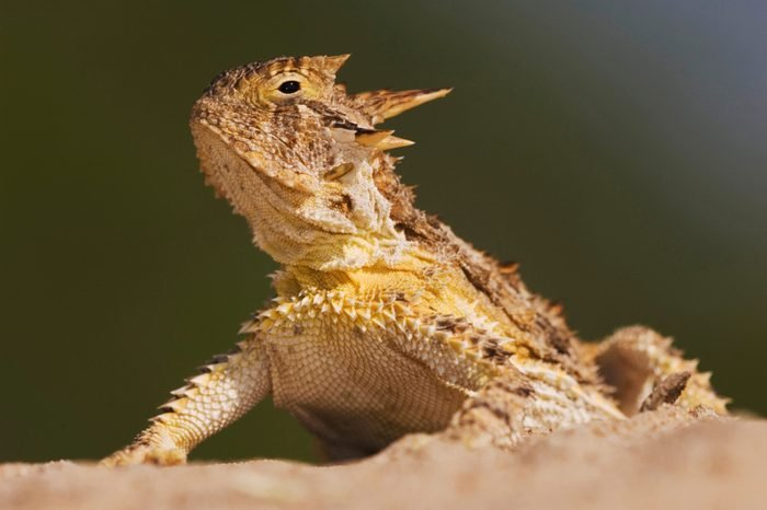 Texas Horned Lizard, Phrynosoma cornutum, adult, Willacy County, Rio Grande Valley, Texas, USA, June