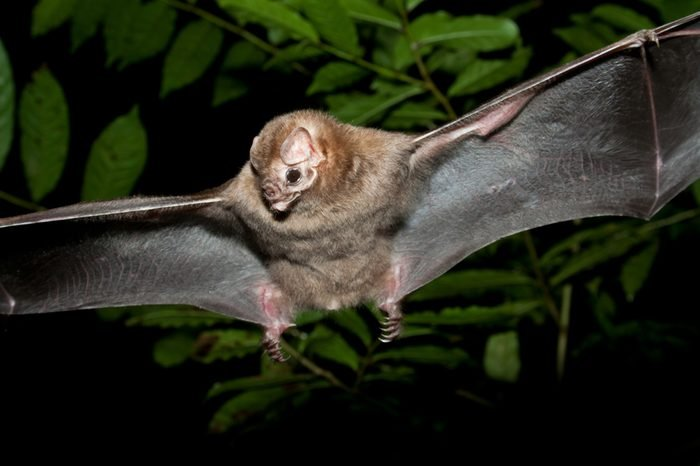 The Real Vampire Bat