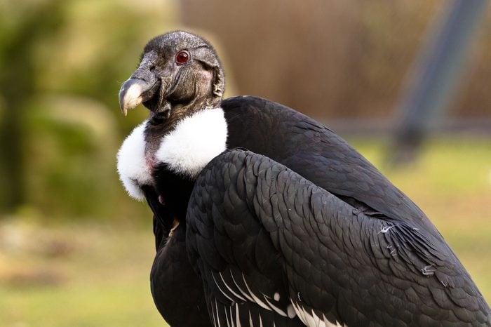 White-rumped vulture portrait