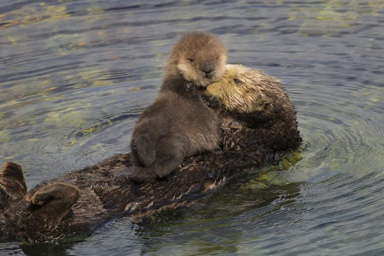 A sea otter mother grooms her newborn pup in Monterey Bay, California.
