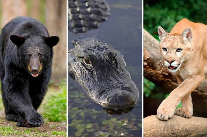 Bear, Alligator, Mountain Lion