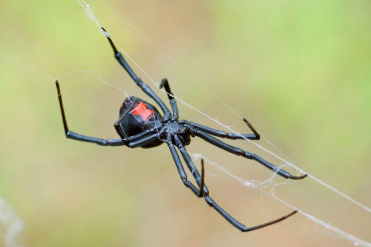 Black Widow Spider crawling on web