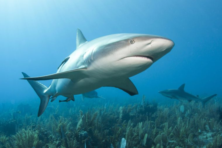 Caribbean reef shark (Carcharhinus perezii) in sun light close to the bottom