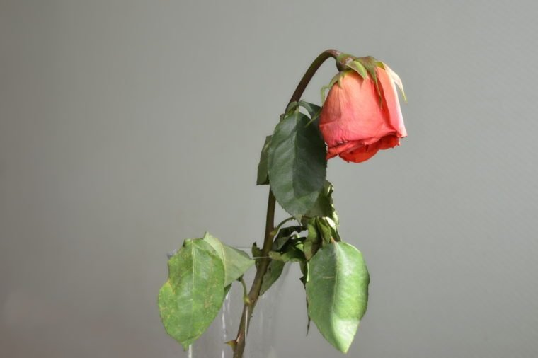 Faded rose tilted her head in the vase