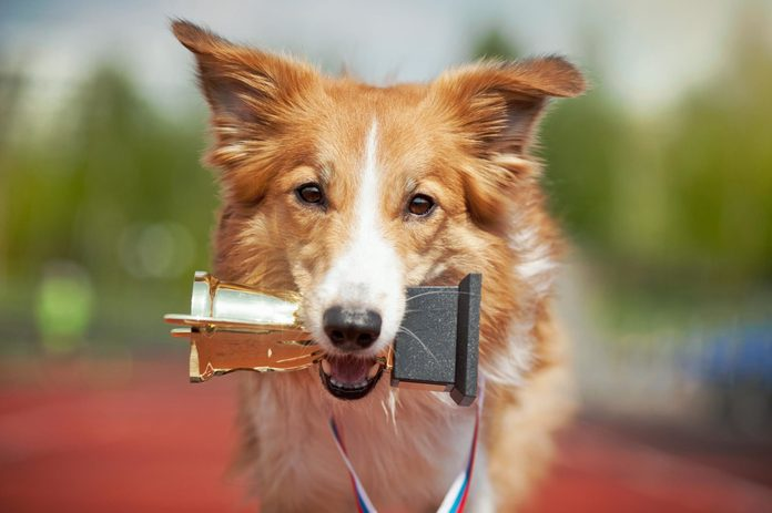 Border collie dog on a track with a trophy