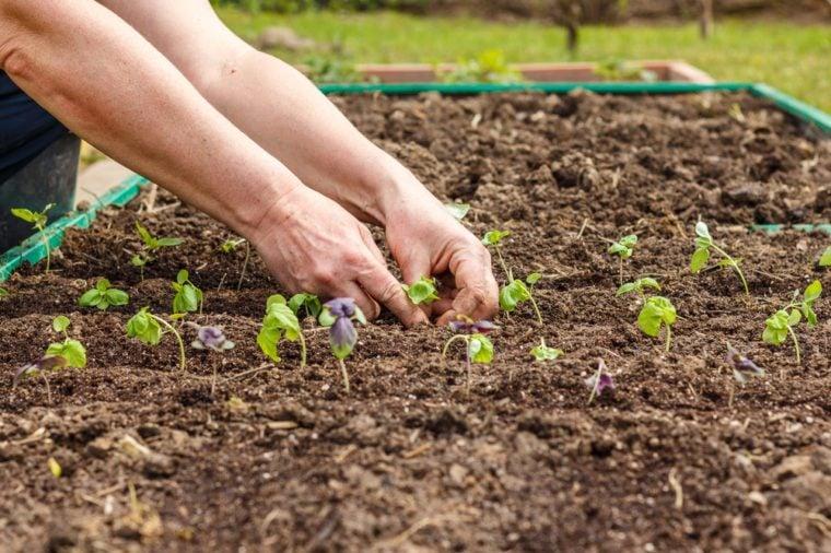 Female hand planting seedlings of Basil in the vegetable garden. Household plot. Dacha.
