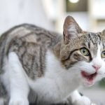 Tabby and white short hair cat with mouth open and lick its lips