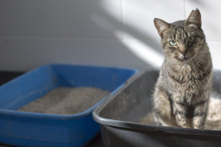 Tabby cat in a litter box