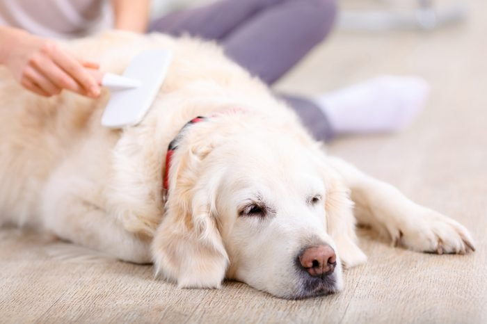 Sweet dreams. Close up of nice dog lying on the floor and sleeping with young woman brushing it