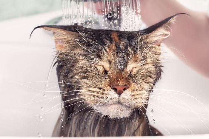 Cat bath. Wet kitten. Cat washed in the shower