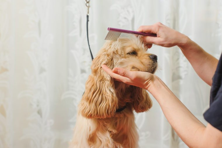 Woman groomer combs Young purebred Cocker Spaniel on grooming table for a a hairstyle in the room.
