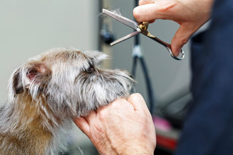 Cute small terrier mixed breed dog getting a haircut by a professional groomer at a pet salon