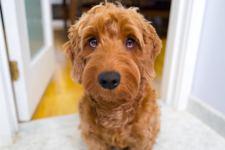 Portrait of miniature goldendoodle indoors