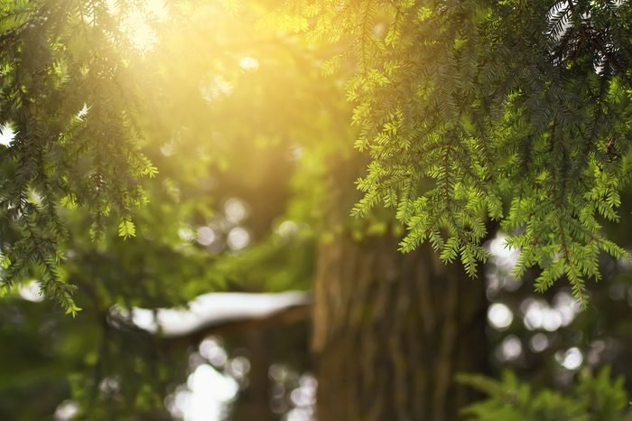 evergreen coniferous tree hemlock colorful natural background in backlit