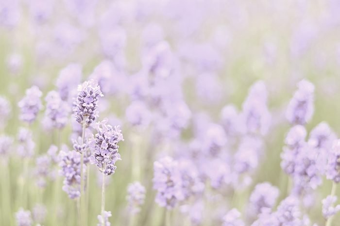 Lavender meadow background with instagram style filter
