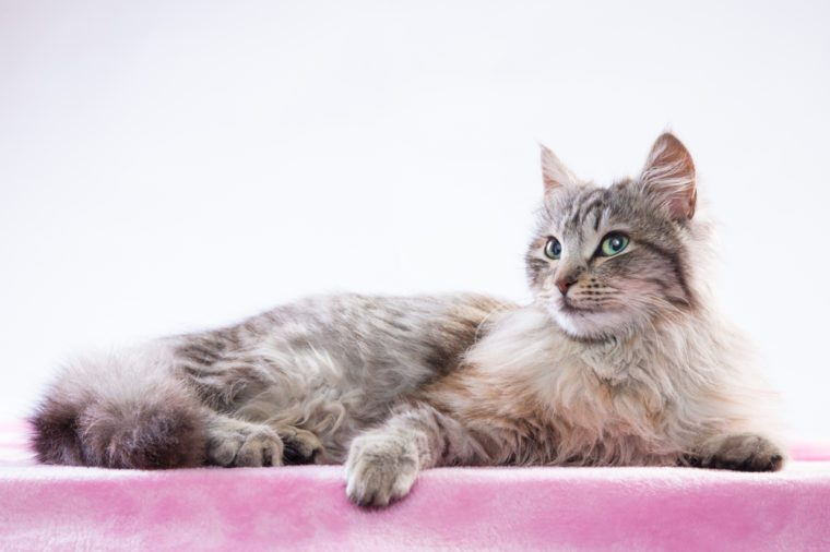Long-haired cat lying on a pink blanket