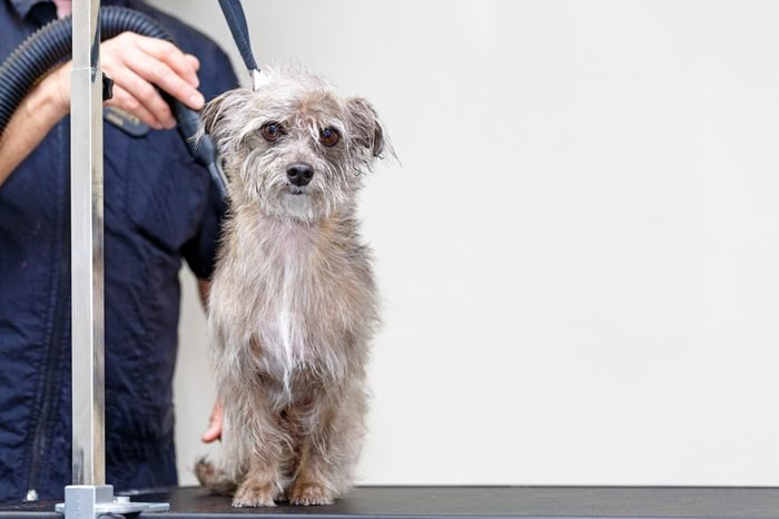 Small terrier mixed breed dog with damp fur being dried by a professional groomer at a salon with room for text