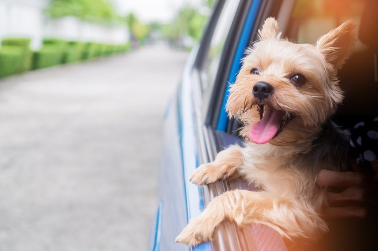 A happy Yorkshire Terrier dog is hanging is tongue out of his mouth and ears blowing in the wind as he sticks his head out a moving and driving car window.