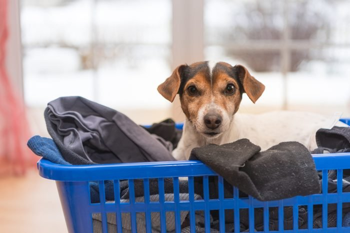 dog in laundry basket - Jack Russell Terrier