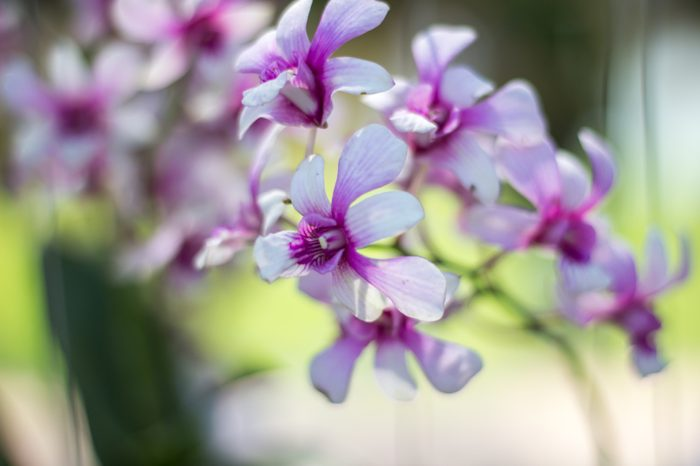 Orchid flower in tropical garden.Phalaenopsis Orchid flower growing on Tenerife,Canary Islands.Orchids.Floral background
