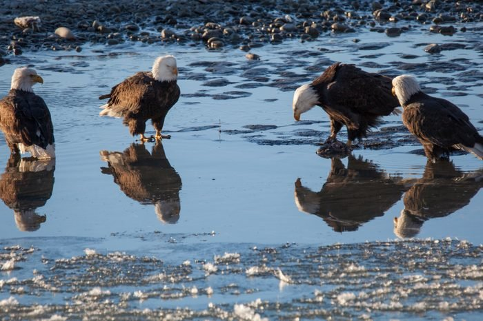 Four bald eagles hanging out in shallow water in the Chilkat Bald Eagle Preserve on a sunny winter day.