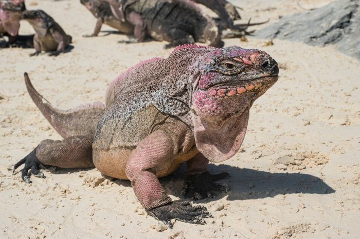 The beautiful Iguana resting on the sandy beaches of the Exuma cays in The Bahamas