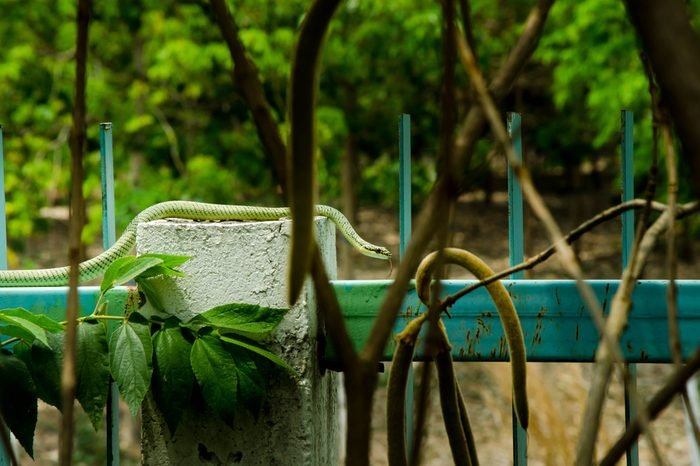 green snake disguise itself with tree branch,Harmonious in green surrounding