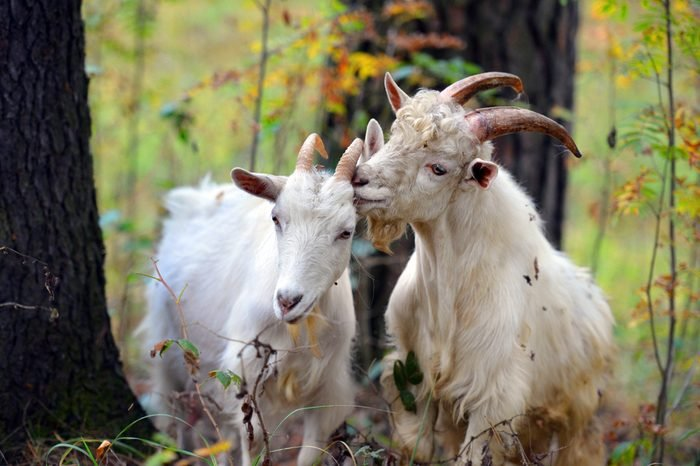 Sheep and goats.