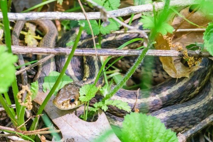 Kentucky's common brown snake in brush