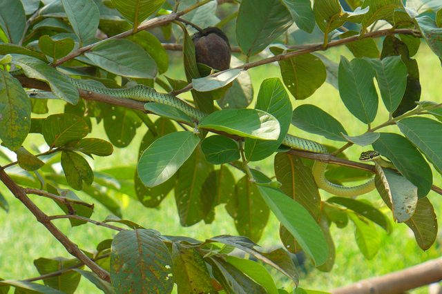 A green snake with black pattern on a green tree
