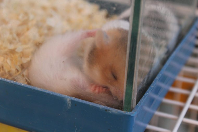 A caged hamster trying to sleep.
