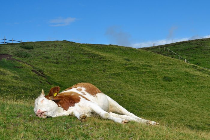 sleeping cow on a high mountain pasture. Alps, Italy.