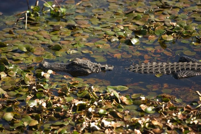 American alligator (Alligator mississippiensis) - among lily pads - partly submerged - Paynes Prairie State Preserve Park, Florida